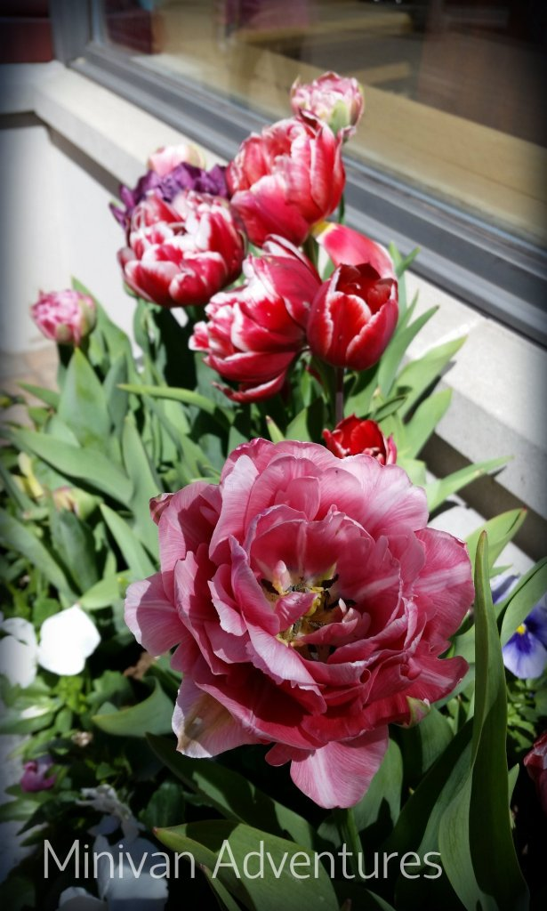 Pretty tulips in a 8th Street storefront's window box.