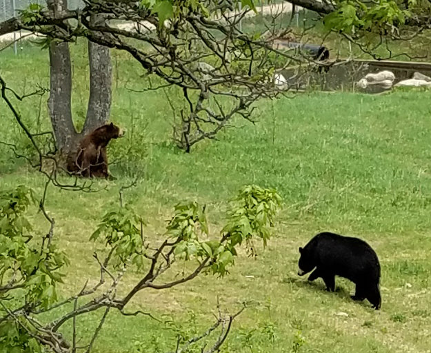 Oswald Bear Ranch in Newberry, Michigan