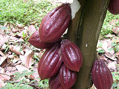 Making chocolate starts with cocoa pods