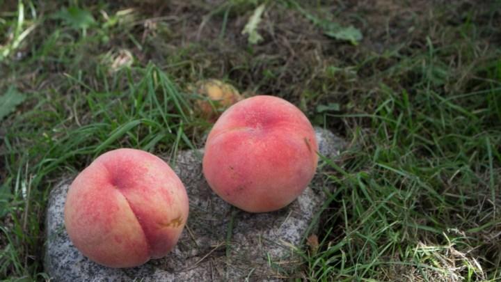 夏休みは山梨 勝沼の理想園でモモの食べ放題!