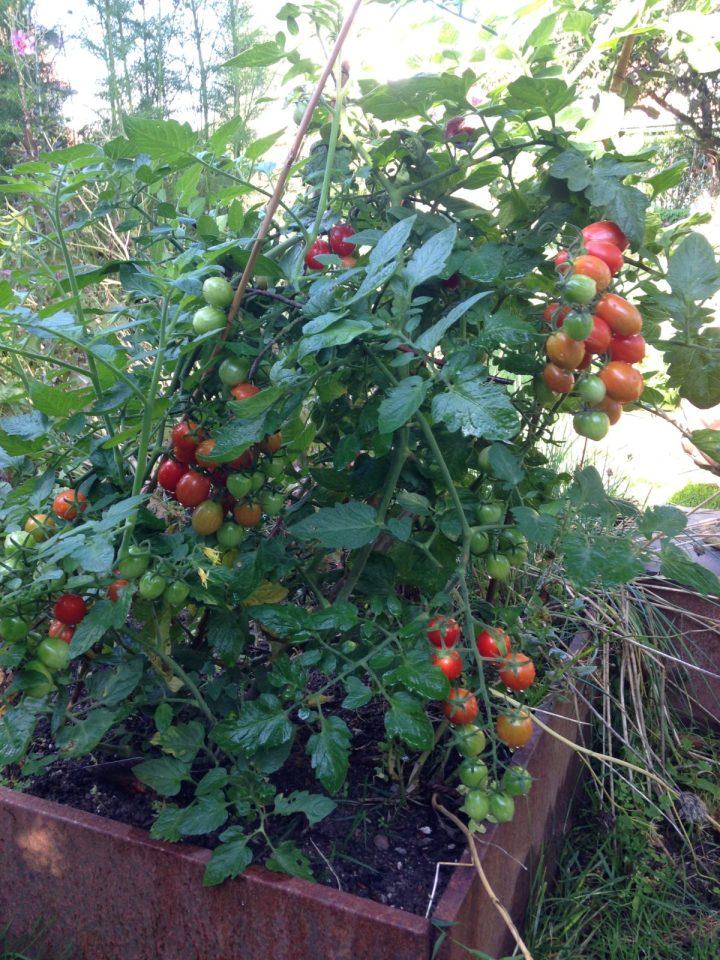 Overdådig tomatplante