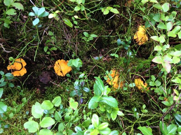 Dejlige kantareller i skovbunden