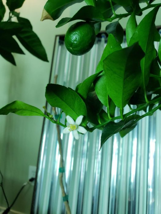 A growing ponkan fruit, flower, and recently pollinated flower indoors