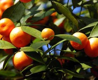 Buy Sweet Orange Trees