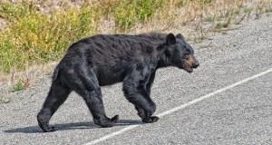 A black bear crossing the road in Alaska Britsh Columbia