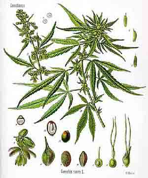 cannabis sativa. Minnesota Cannabis Laws.