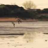 谷津干潟: 鴨の群