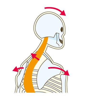 肩甲骨-[更新済み]