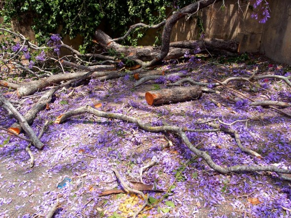 The sad carnage of a beautiful tree in full bloom.