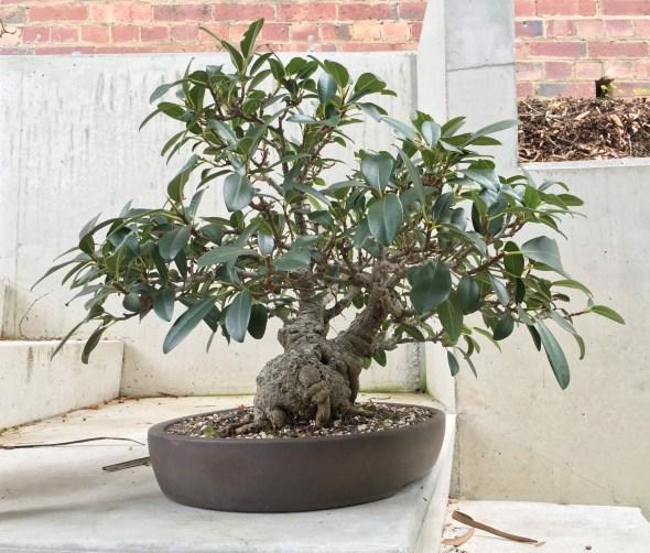 The bonsai, 30 years on.