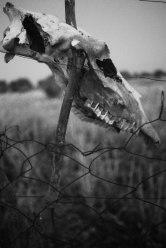 Jag har mött många turister här som samlar på skelettdelar och stolt visar upp sina fynd. Det här kraniet tillhör dock ingen turist, det hängde bara där på staketet.