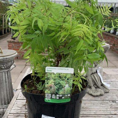 Sorbaria Sorbifolia Sem