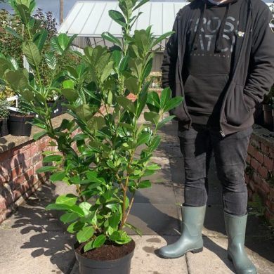 Laurel Rotundifolia Hedging deals local delivery Crewe Cheshire