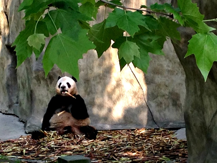 How you doin? #Pandamonium in Chengdu China