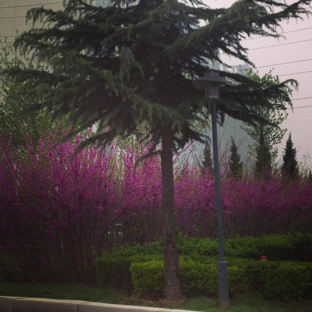 Xian Blossoms