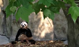 Pandas in Chengdu? Don't Mind if I Do!