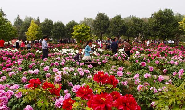 Luoyang Peonies
