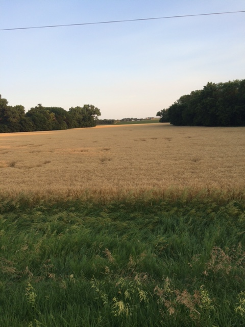 6.22.16 Kansas Wheat