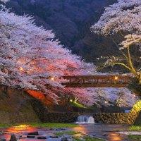 Night sakura in Kyoto