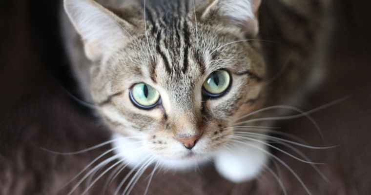 Can Medical Marijuana Ease Discomfort In Cats?