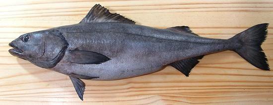 Buy sablefish for sale