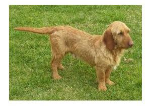 Basset leonado de Bretaña - Raza de Perro