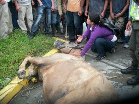 Varios transeuntes ayudan al caballo accidentado