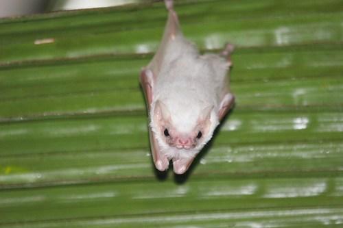 Resultado de imagen para murcielago blanco