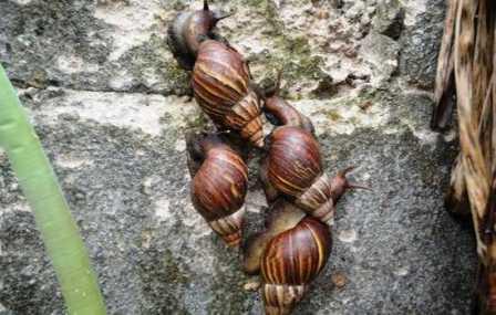 El caracol africano una amenaza para Orito.