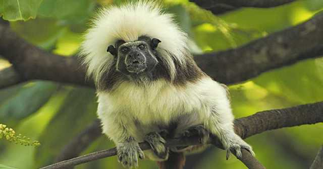 El mono tití cabeciblanco que habita los bosques del noroccidente colombiano, es uno de los 25 primates en peligro de extinción. Foto: A.F.P.