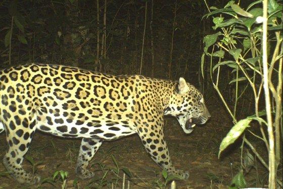 Jaguar - Pantera OCA