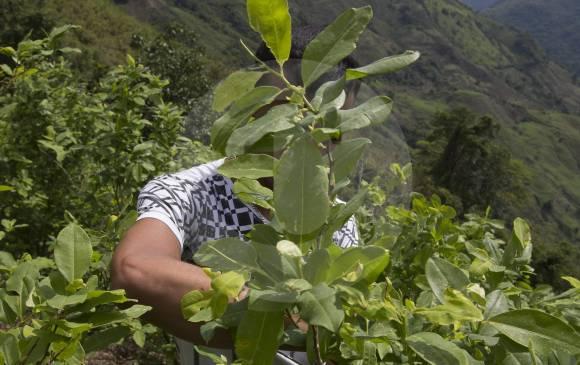 ¿Zonas veredales de Farc benefician cultivos de coca?