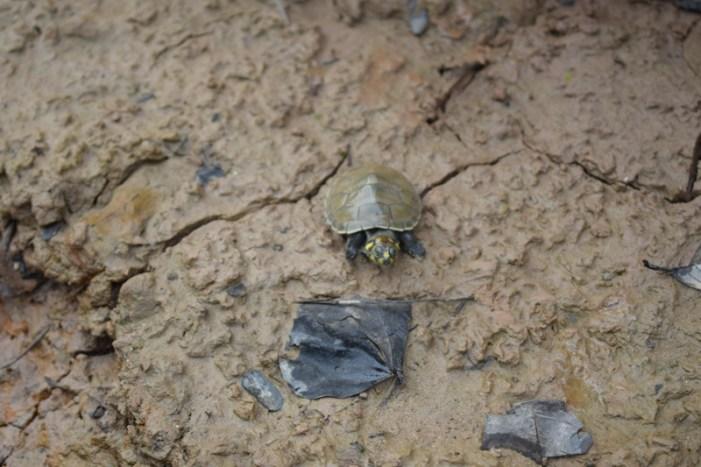 60 tortugas bebé en riesgo de morir fueron recuperadas y regresadas a su habitat natural