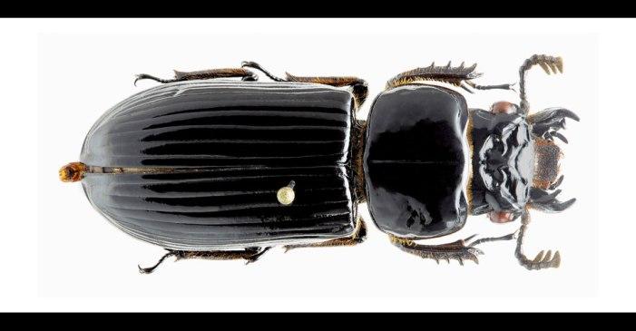Descubren nueva especie de escarabajo en la Amazonia colombiana