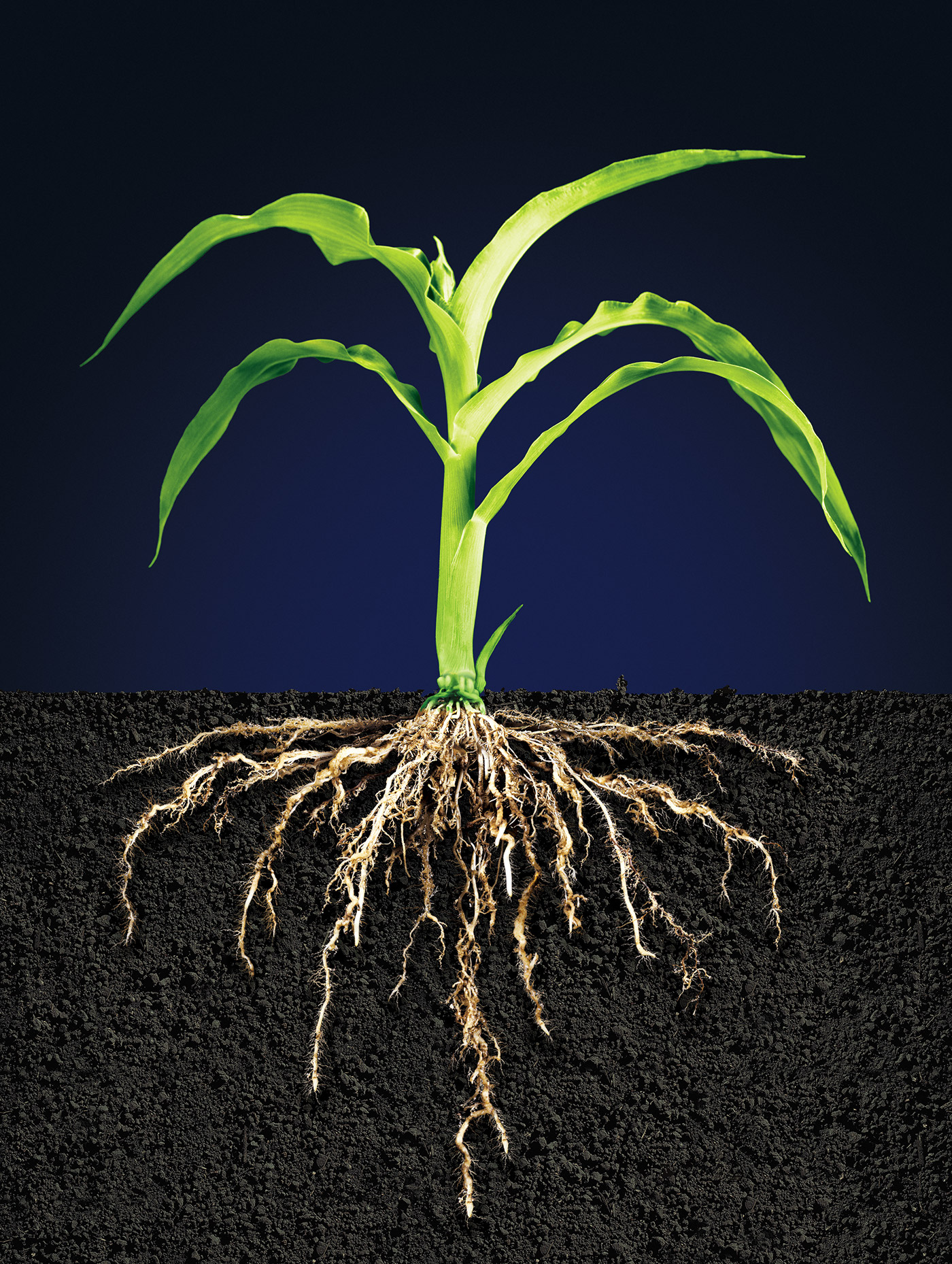 Corn Plant Root Systems On Behance