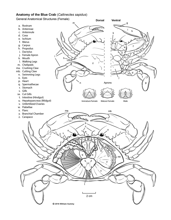 Fancy Blue Crab Anatomy Adornment - Anatomy And Physiology Biology ...