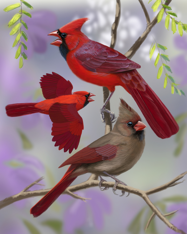 Northern Cardinal On Wacom Gallery