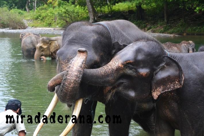 Tangkahan elefantes