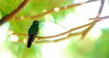 El zunzún, también conocido como picaflor o colibrí, considerada la más pequeña del mundo, pues mide solamente 63 milímetros , en Las Tunas, Cuba, el 13 de noviembre de 2015. AIN FOTO/Yaciel PEÑA DE LA PEÑA/