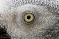African Grey Eye Close-up