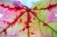 Abstract and Detail: Maple Leaf