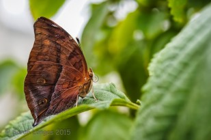 The child's subject: Indian Leafwing Butterfly