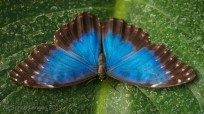 The Blue Morpho has a wingspan of up to 20cm
