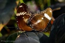 Mating Diadem