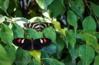 Longwing courtship