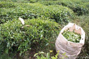 Plantaciones de Té