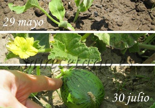 Fases del melón creciendo