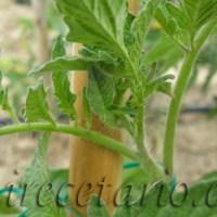 Como podar tomateras 2