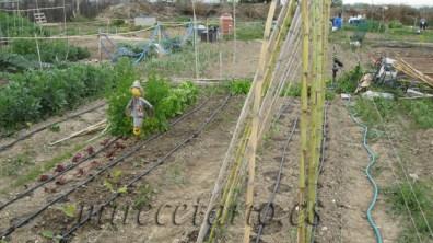 Las tomateras a principios de abril, si, si, mira donde las cañas...
