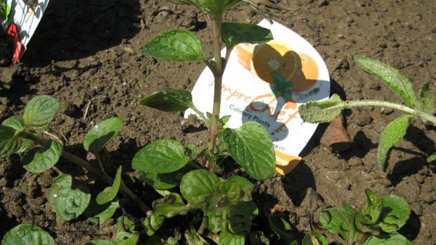 Planta de menta naranja eco.
